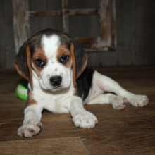Beagle Puppies for Sale | PuppySpot