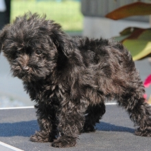 Yorkiepoo Puppies for Sale | PuppySpot