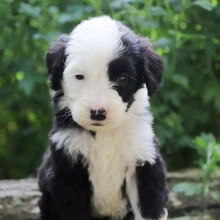 Sheepadoodle Puppies for Sale | PuppySpot