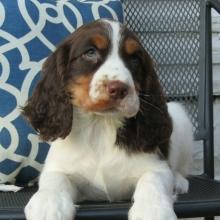 English Springer Spaniel Puppies for Sale | PuppySpot
