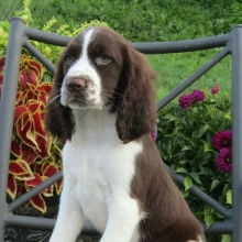 English Springer Spaniel Puppies for Sale | PuppySpot