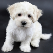 Havapoo Puppies for Sale | PuppySpot