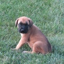 Mastiff Puppies for Sale | PuppySpot