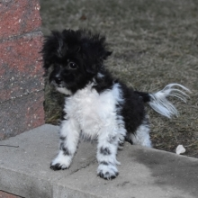 Shihpoo Puppies For Sale Puppyspot