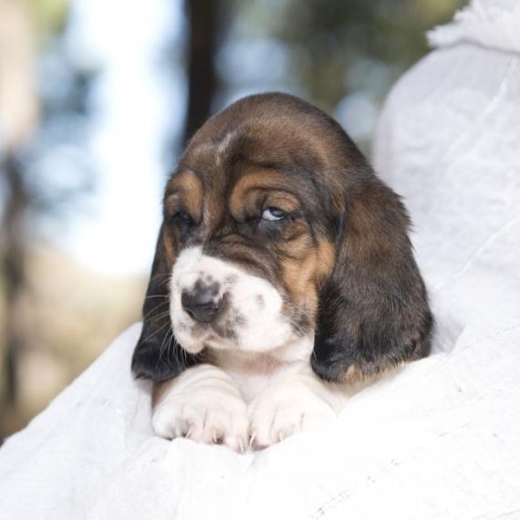 Basset Hound Puppies For Sale Puppyspot