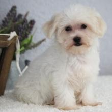 Maltipoo Puppies For Sale Puppyspot