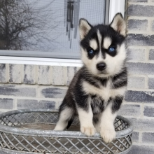 Siberian Husky Puppies For Sale Puppyspot