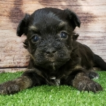 Havanese Puppies For Sale Puppyspot