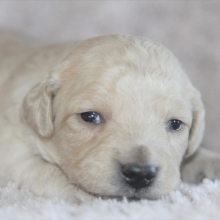 Goldendoodle Puppies For Sale Puppyspot