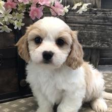 Cavachon Puppies for Sale | PuppySpot