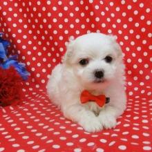 Maltese Puppies For Sale Puppyspot