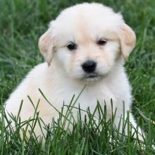 Golden Retriever Puppies for Sale | PuppySpot