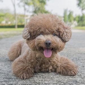 Poodle Puppies For Sale Puppyspot