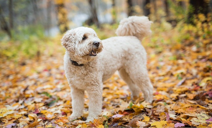 Goldendoodle Puppy Breed Facts Information Characteristics