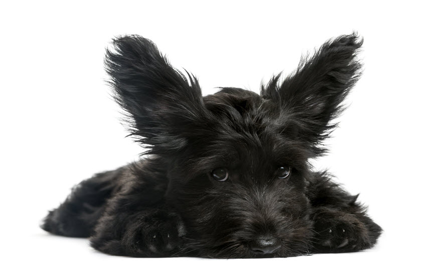 Scottish Terrier Breed Characteristics   PuppySpot