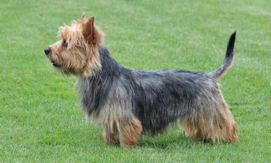 Cairn Terrier Breed Characteristics | PuppySpot