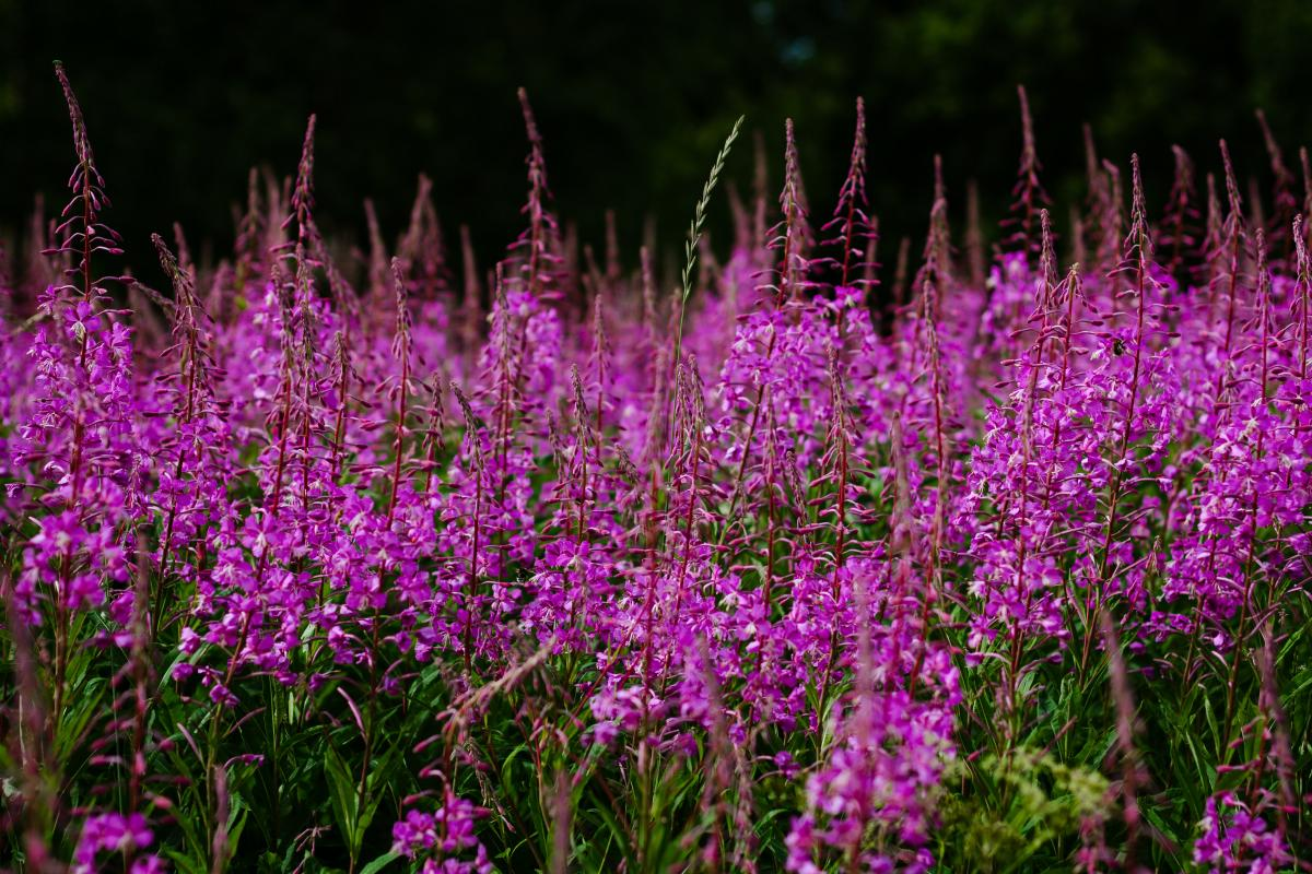photo of dark purple flowers