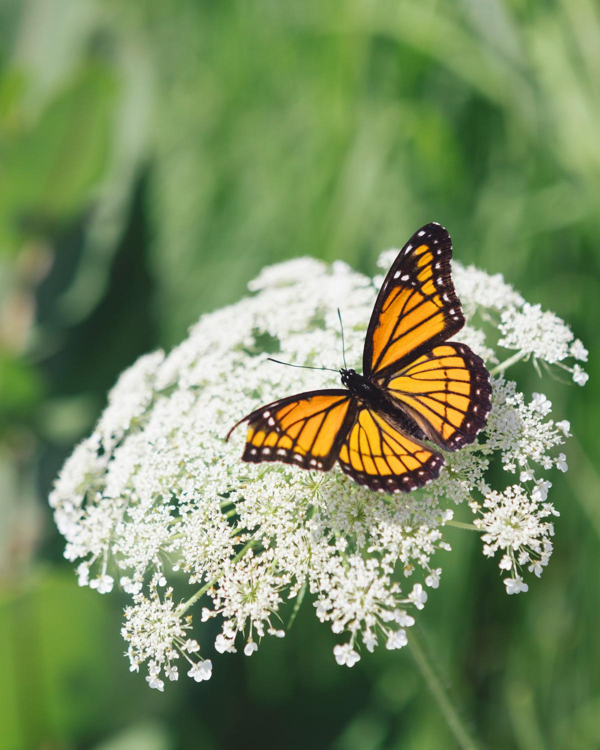 photo of a butterfly sitting on white lacy flowers