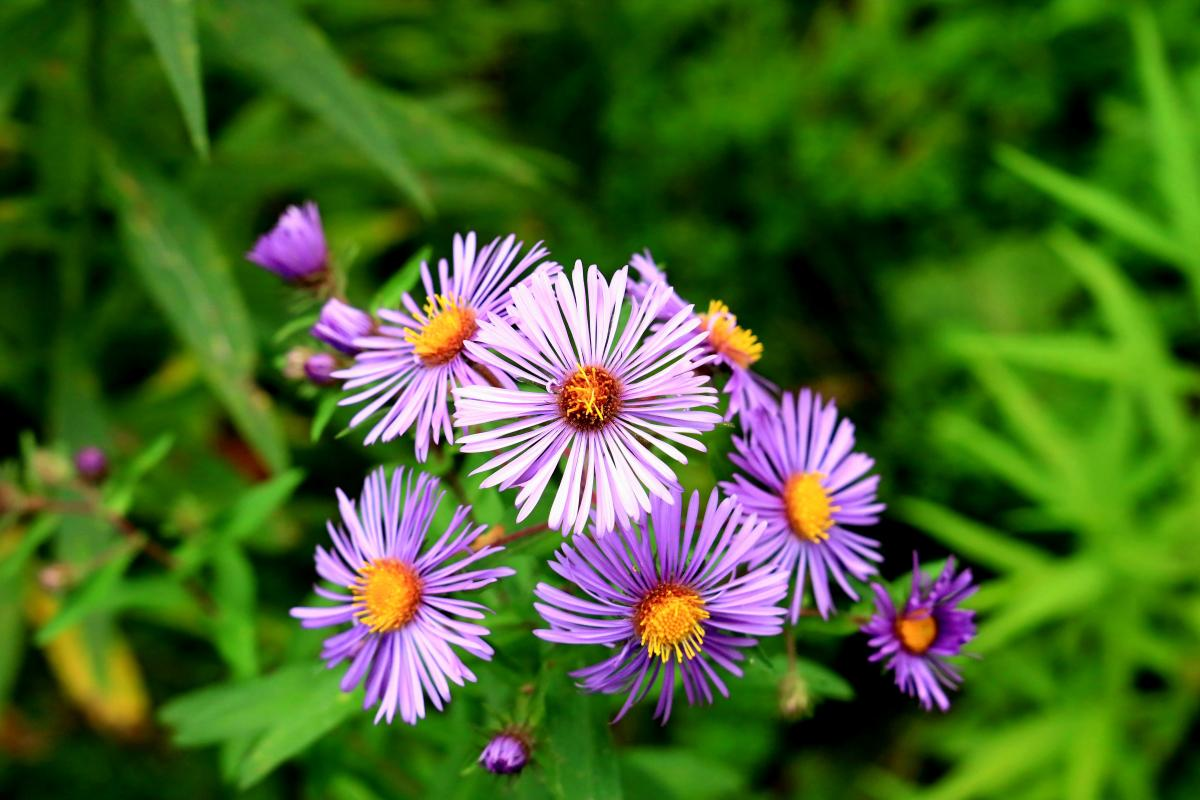 photo of small flowers with purple petals and yellow center