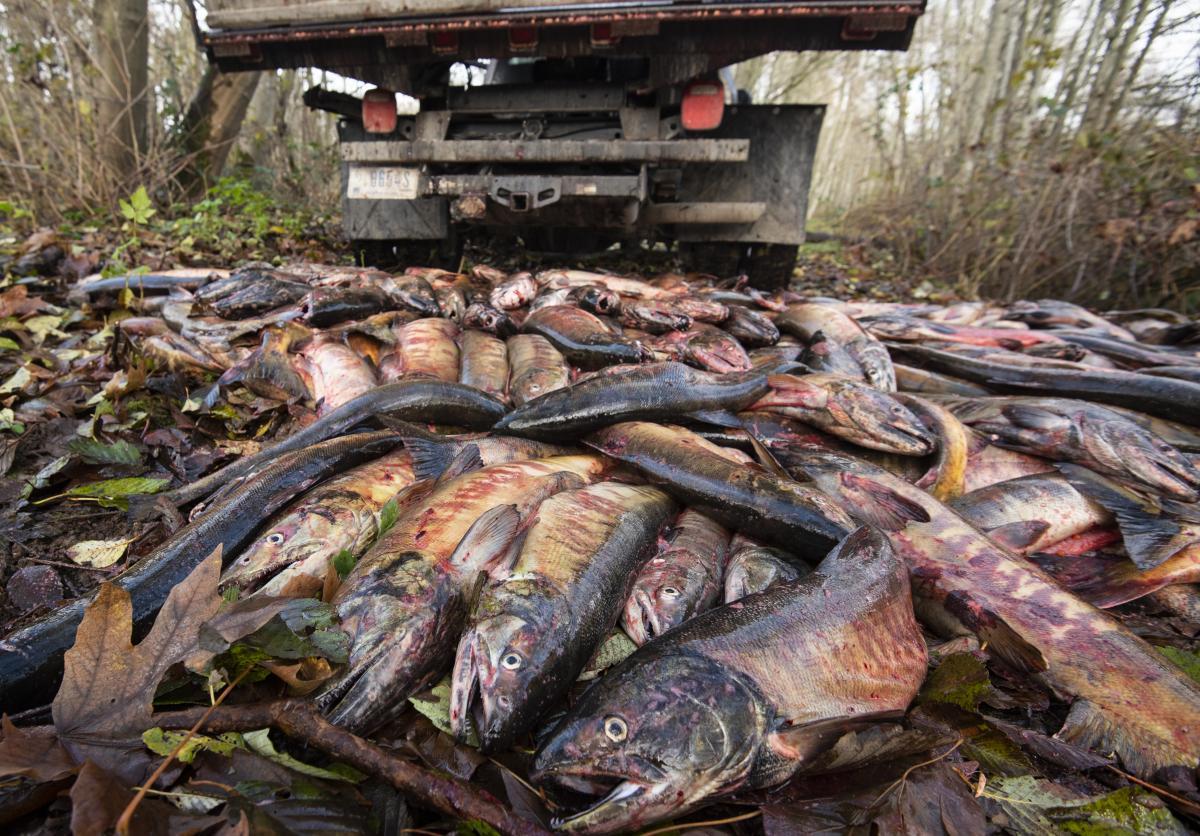 photo of salmon carcass