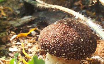Mycopermaculture: Designing Edible Mushroom Ecosystems