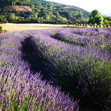 Lavender Farm Glamping Retreat