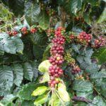 El Covid-19 provocará aumento en los costos de recolección de la cosecha de café