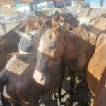 Decomisan 20 caballos contrabandeados desde Nicaragua que serían usados para el consumo humano