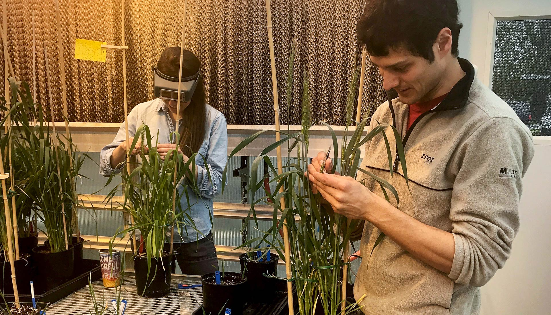 Young man and woman harvest grain pollen in greenhouse