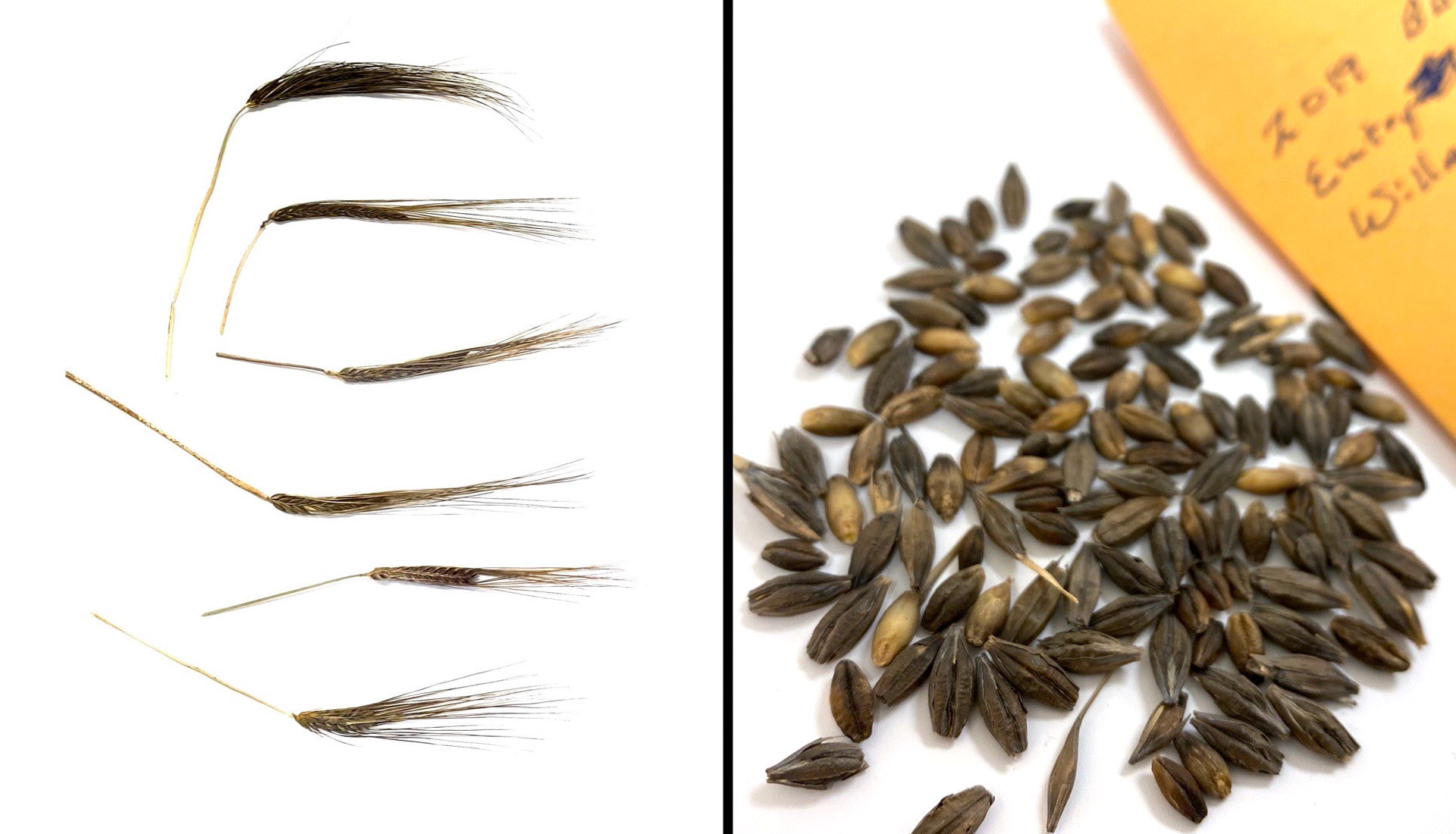 Black barley heads (left) and seeds (right).