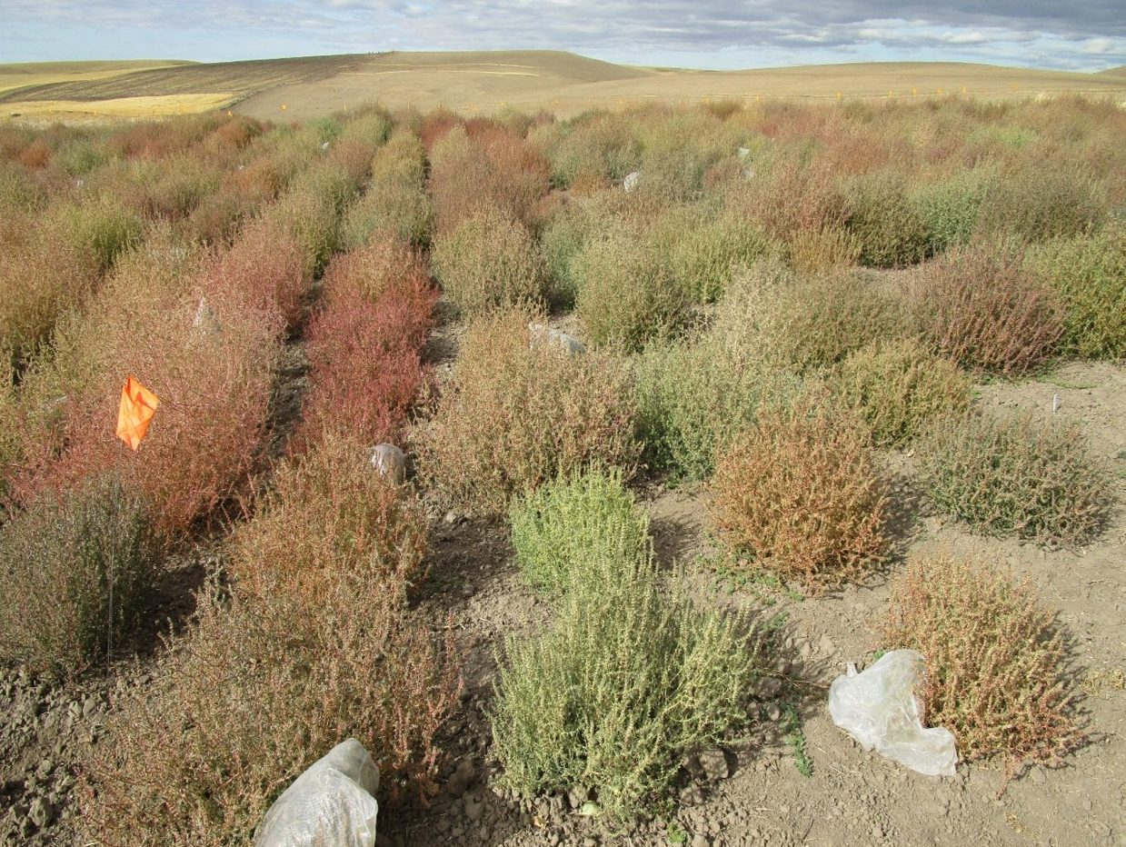 Diversity of Russian Thistle