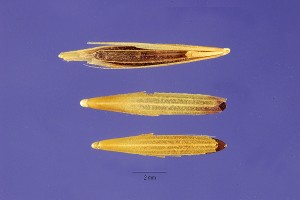 Downy Brome Seeds