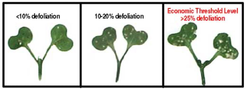 The action threshold for foliar insecticide application is 25% foliar damage.