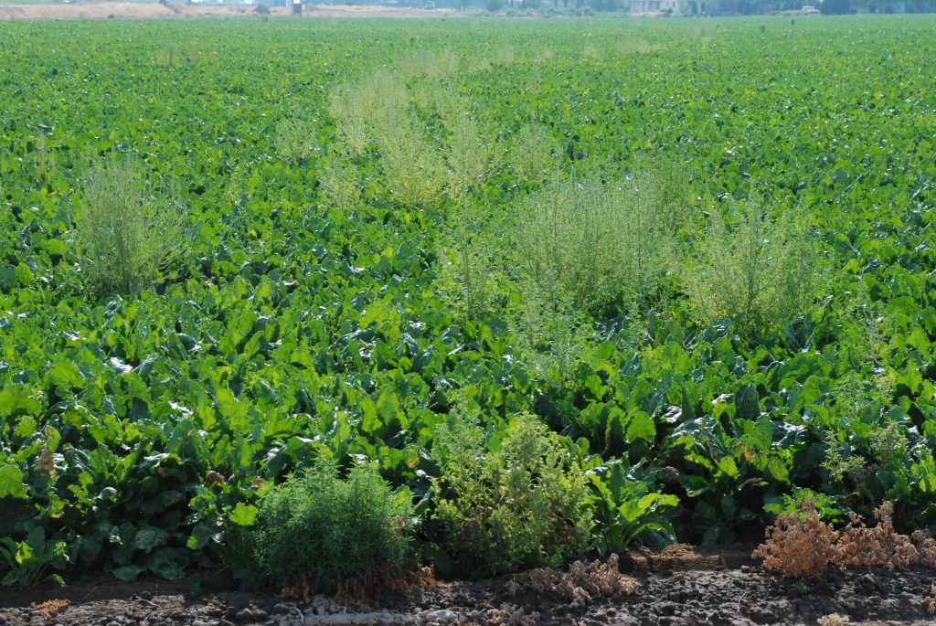 Kochia having survived multiple rounds of glyphosate and developed resistance.