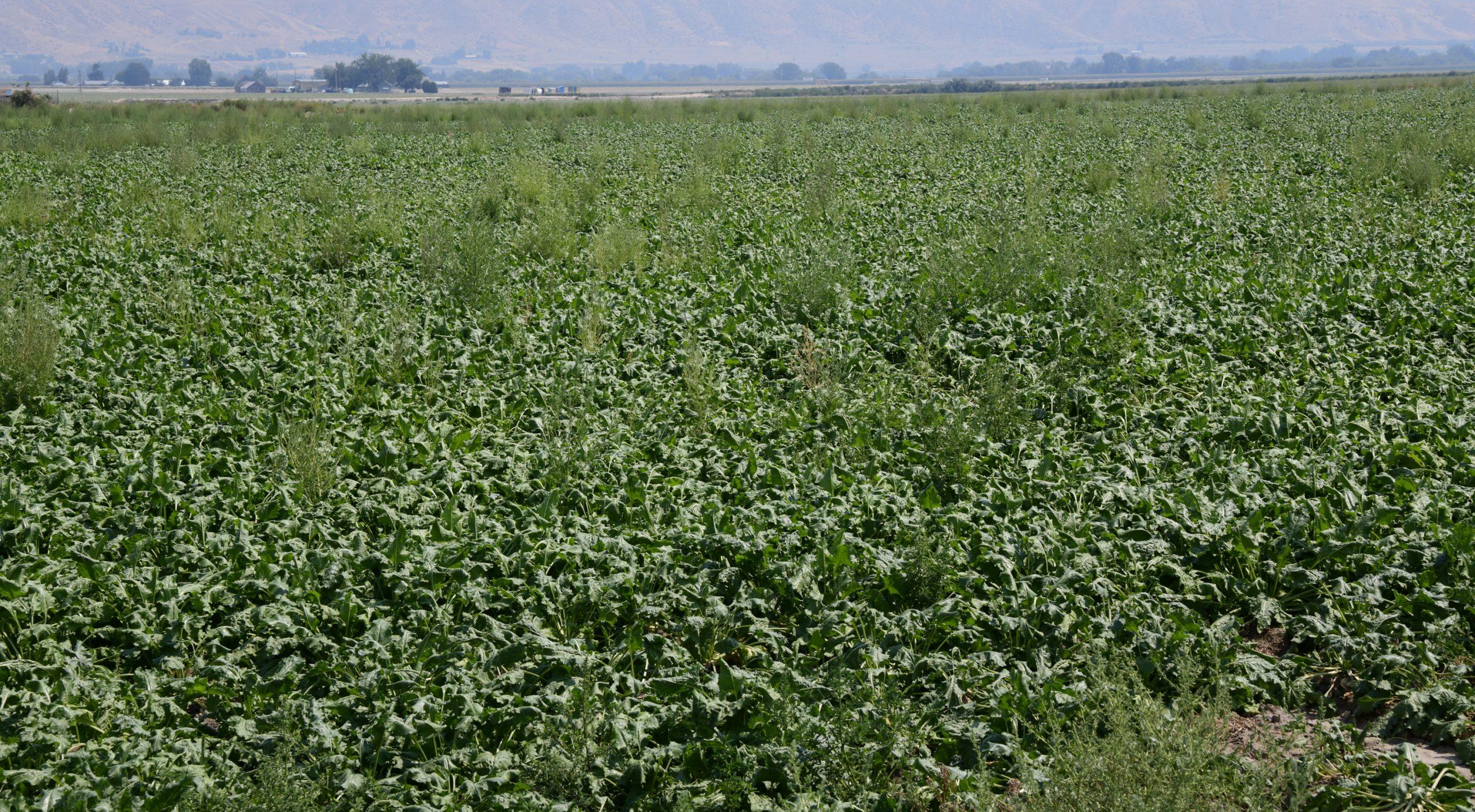 Kochia in a sugar beet field.