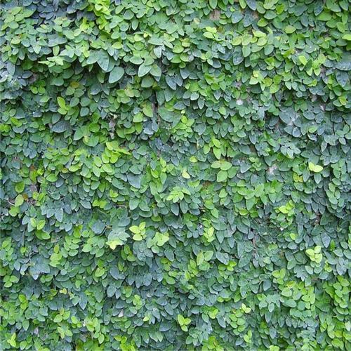 FICUS PUMILA MINIMA |  Creeping Fig / Climbing Fig