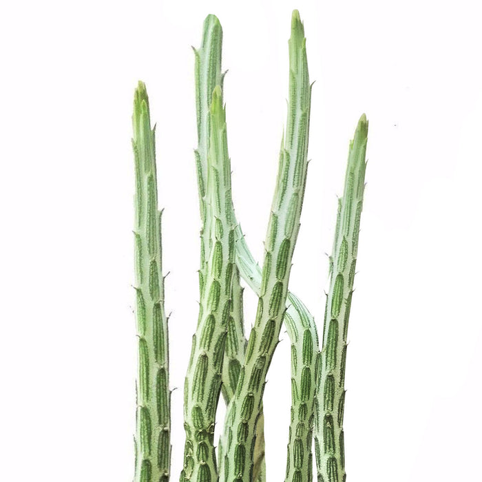 Pickle Plant