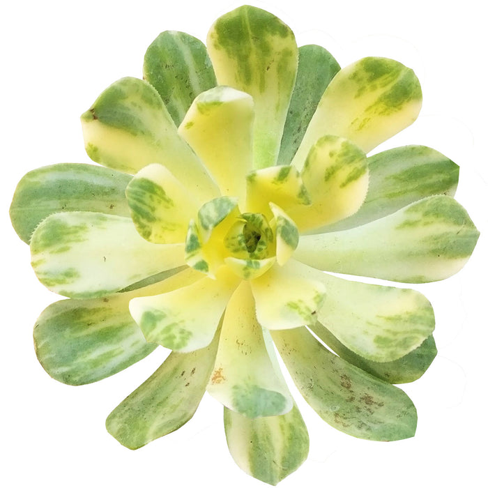 Aeonium Suncup Variegata