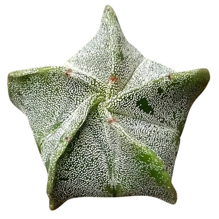 Bishop's Cap Cactus Astrophytum Myriostigma