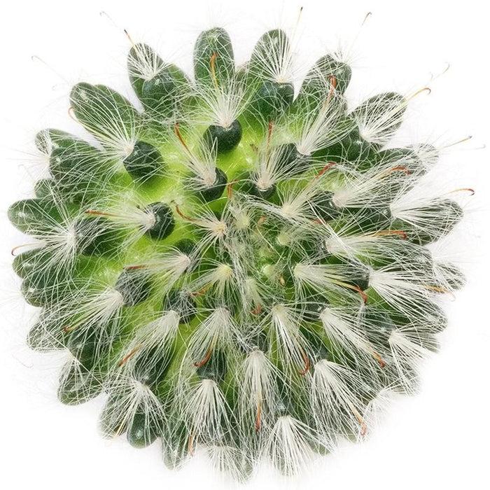 Powder Puff Cactus