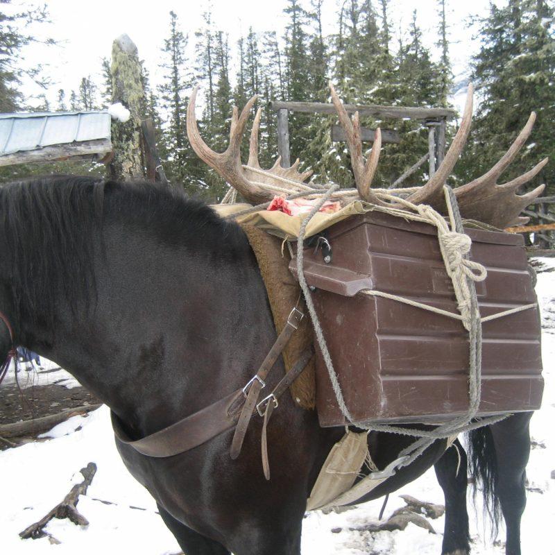 Moose 079