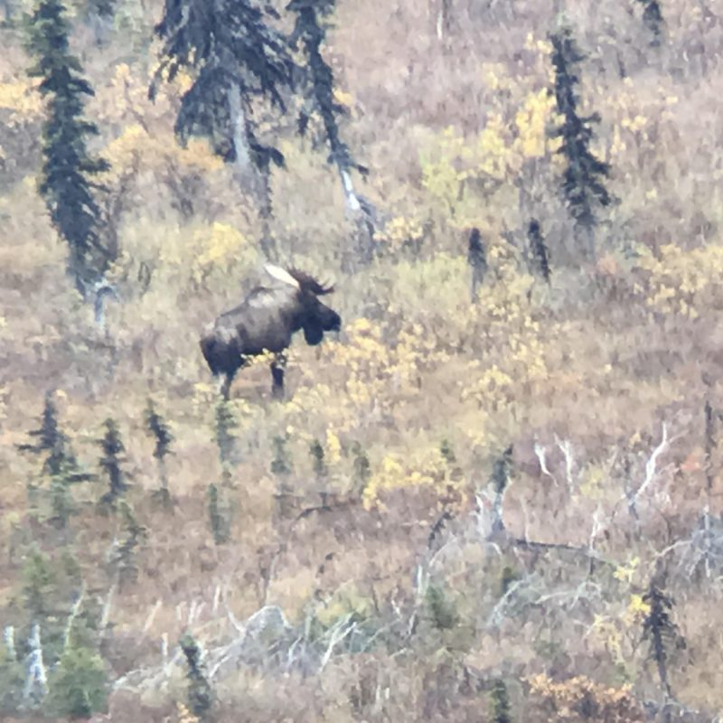 Moose from Camp 2