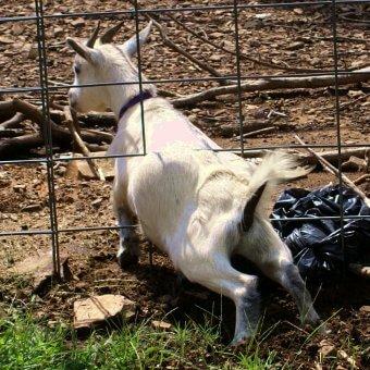 stolen-goat-new-goat