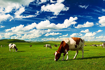 The cattle on the summer grassland