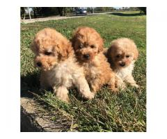 Poodles Puppies For Adoption