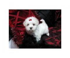 Purebred Maltese Puppies Available For Adoption