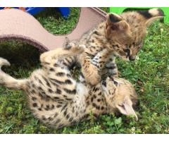 African Serval cats