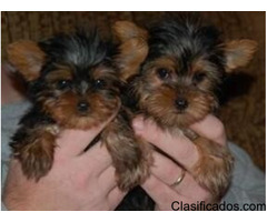 GORGEOUS MALE AND FEMALE YORKIE PUPPIES