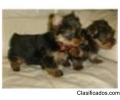 Outstanding Yorkie Puppies For Sale