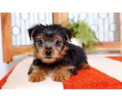 Teacup puppies available for adoption
